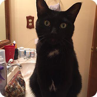 Manx Cat for adoption in Atlanta, Georgia - Joey