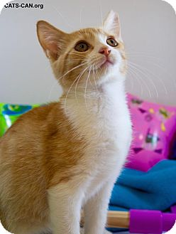 Domestic Shorthair Kitten for adoption in Oviedo, Florida - Royal