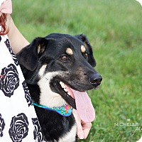 Shepherd (Unknown Type)/Collie Mix Dog for adoption in Naperville, Illinois - Lionel Richie