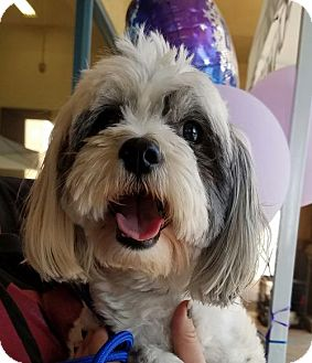 Havanese/Lhasa Apso Mix Dog for adoption in Porter Ranch, California - Bandit Rico