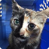 Domestic Shorthair Kitten for adoption in Brainardsville, New York - Gillian