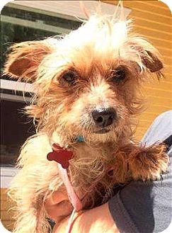Silky Terrier/Terrier (Unknown Type, Small) Mix Dog for adoption in Encino, California - Chispa