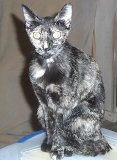 American Shorthair Cat for adoption in Pensacola, Florida - Cinnamon