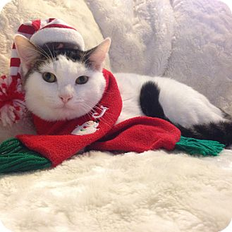 Domestic Shorthair Kitten for adoption in Tampa, Florida - Petey