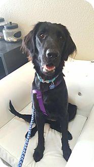 Flat-Coated Retriever Dog for adoption in Fullerton, California - Onyx