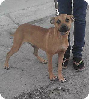 Rhodesian Ridgeback Mix Puppy for adoption in cupertino, California - Nico in temp foster!
