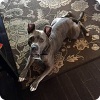 American Pit Bull Terrier/Pit Bull Terrier Mix Dog for adoption in Detroit, Michigan - Niko