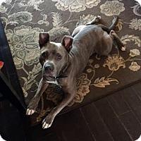 Adopt A Pet :: Niko - Detroit, MI