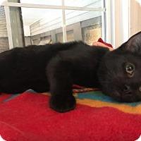Domestic Shorthair Kitten for adoption in East Stroudsburg, Pennsylvania - Flynn