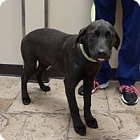 Adopt A Pet :: Zena - Oviedo, FL