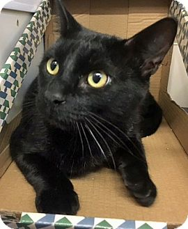 Domestic Shorthair Cat for adoption in San Antonio, Texas - BC