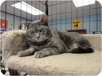 Domestic Shorthair Cat for adoption in Kingston, Washington - Cissy