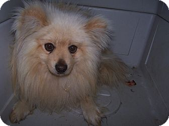 Pomeranian Mix Dog for adoption in Chewelah, Washington - Lucky