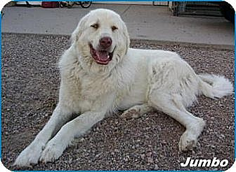 Great Pyrenees Dog for adoption in Hawk Springs, Wyoming - Jumbo