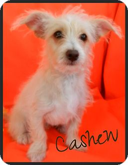 maltese jack russell terrier mix cashew adopted puppy escondido ca maltese jack 1978