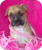 Boxer/Boston Terrier Mix Puppy for adoption in Phillips, Wisconsin - Rosie