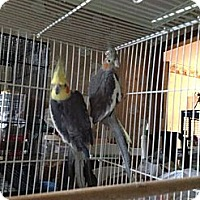 Adopt A Pet :: Cheeps & Tweety - St. Louis, MO