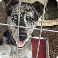 Adopt A Pet :: Frankie - Fair Oaks Ranch, TX