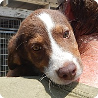 Adopt A Pet :: *Jasper - PENDING - Westport, CT