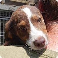 Adopt A Pet :: *Jasper - PENDING - Westport, CT