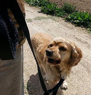 Cocker Spaniel Dog for adoption in Templeton, California - Mel