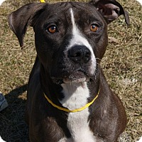 Boxer Mix Dog for adoption in Monroe, Michigan - Whitney