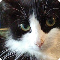 Domestic Mediumhair Cat for adoption in marine, Michigan - Dixie