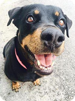 Rottweiler Dog for adoption in Mission, Kansas - Ramona