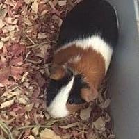 Guinea Pig for adoption in Asheville, North Carolina - Toma