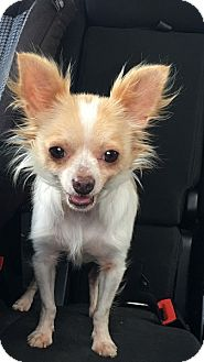 Chihuahua Dog for adoption in West Columbia, South Carolina - Randy
