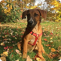 Beagle/Australian Shepherd Mix Puppy for adoption in Sanford, Maine - Pheonix/IN MAINE