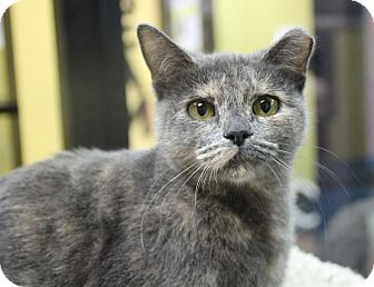 Domestic Shorthair Cat for adoption in Benbrook, Texas - Miss Kitty