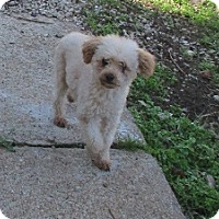 Poodle (Miniature) Mix Dog for adoption in House Springs, Missouri - Drake