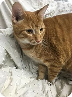 Domestic Shorthair Cat for adoption in Paducah, Kentucky - Buddy