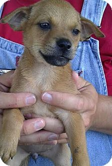 Terrier (Unknown Type, Small)/Jack Russell Terrier Mix Puppy for adoption in Saddle Brook, New Jersey - Sara