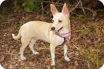 Chihuahua Dog for adoption in Davie, Florida - Meadow