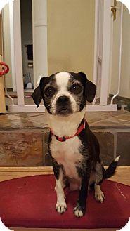 Boston Terrier/Pug Mix Dog for adoption in Denver, Colorado - Pearl