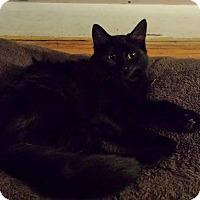 Domestic Longhair Kitten for adoption in Hamilton, Ontario - Bella