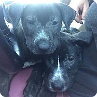 Adopt A Pet :: Flicka - Fort Collins, CO