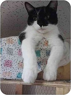 Domestic Shorthair Cat for adoption in MADISON, Ohio - Tar Baby