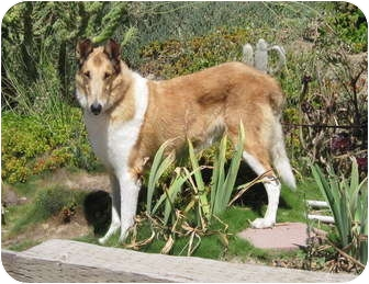 Collie Dog for adoption in Trabuco Canyon, California - Barkley