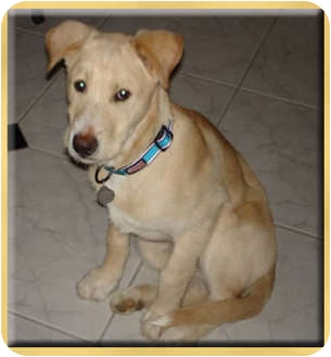 Labrador Retriever/Airedale Terrier Mix Puppy for adoption in