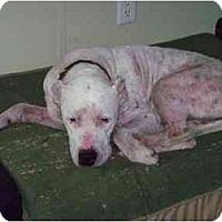 Adopt A Pet :: Dexter - Sierra Vista, AZ