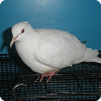 Adopt A Pet :: Mertle - Neenah, WI