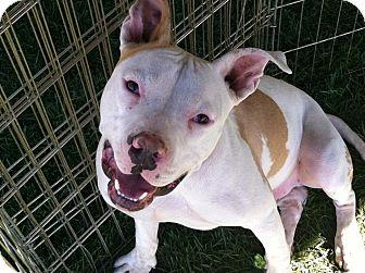 Pit Bull Terrier Mix Dog for adoption in Las Vegas, Nevada - Bugzi