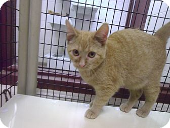Domestic Shorthair Cat for adoption in Muscatine, Iowa - Twinkle