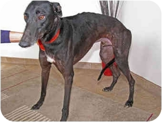 Greyhound Dog for adoption in Albuquerque, New Mexico - Paco