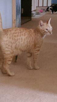 Domestic Shorthair Cat for adoption in Bonita Springs, Florida - Spencer bonded with Jasper