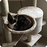 Domestic Shorthair Kitten for adoption in Port Charlotte, Florida - Flower
