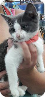 Domestic Mediumhair Kitten for adoption in Wagoner, Oklahoma - Jeanie